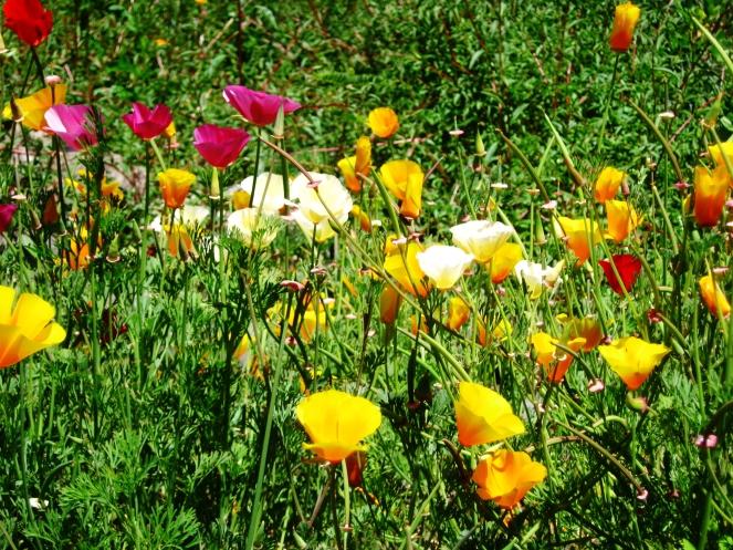 California poppies--Rebecca Górzyńska--Delphina Rose